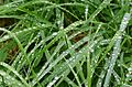 Rain on grass at Holma 3.jpg