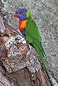 Rainbow Lorrikeet looking for a home-1 (7154526034).jpg