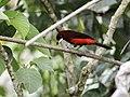 Ramphocelus melanogaster - Black-bellied Tanager 1.jpg