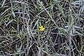 Ranunculus flammula (20271103335).jpg