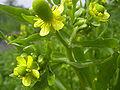 Ranunculus sceleratus(02).jpg