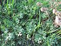 Ranunculus undosus habit Southeron Jan09-1 - Flickr - Macleay Grass Man.jpg