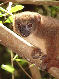Red-bellied Lemur, Ranomafana National Park (3952932365).jpg