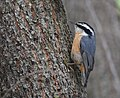Red-breasted Nuthatch (31333055948).jpg
