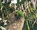 Red-cheeked Parrot. Geoffroyus geoffroyi female (48815083186).jpg