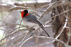 Red-faced Warbler (Cardellina rubrifrons) (13853609743).jpg