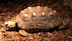 Red-footed tortoise (Buffalo Zoo).jpg