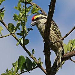 Red-fronted barbet (Tricholaema diademata).jpg