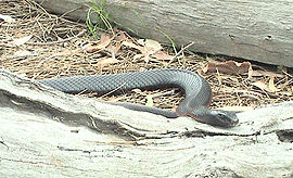 Red Bellied Black Snake.jpg