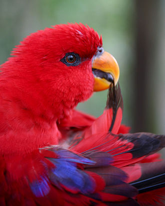 Preening (bird) - When preening, a bird (such as this red lory) draws individual feathers through its beak, realigning and re-interlocking the barbules.