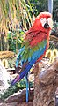 Red Macaw 2 (3312518394).jpg