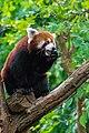 Red Panda (24169582048).jpg