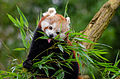 Red Panda (24793537166).jpg
