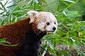 Red Panda (37469306262).jpg