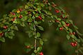 Red berries 777.jpg