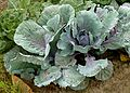 Red cabbage J1.jpg