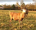 Red deer stag, Studley Park - geograph.org.uk - 651670.jpg
