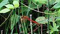 Red dragon fly Mara.jpg
