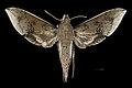 Rhagastis velata MHNT CUT 2010 0 204 Bhimtal Uttarakhand India Male dorsal.jpg