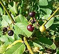 Rhamnus betulifolia var obovata 6.jpg