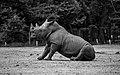 Rhino (41187609050).jpg