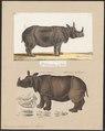Rhinoceros unicornis - 1700-1880 - Print - Iconographia Zoologica - Special Collections University of Amsterdam - UBA01 IZ22000219.tif