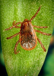Brown Dog tick commonly found in Carlsbad and Southeast New Mexico.