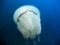 Rhizostoma pulmo 0126.JPG