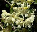 Rhododendron burmanicum 3.jpg