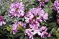 Rhododendron catawbiense Grandiflorum 4zz.jpg