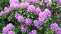 Rhododendron in Our Front Yard (8397770511).jpg