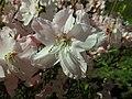 Rhododendron schlippenbachii 2019-04-20 1701.jpg