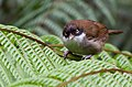 Rhopocichla atriceps -Sinharaja Forest Reserve, Sri Lanka-8.jpg