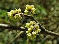 Rhus aromatica 2019-04-16 0235.jpg