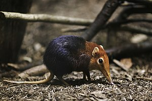 Black and rufous elephant shrew - Image: Rhynchocyon petersi from side