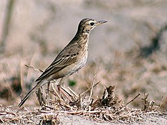Anthus richardi