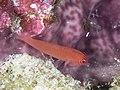 Ringeye pygmygobi (Trimma benjamini) (32168553937).jpg