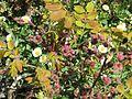 Robinia hispida buds - Flickr - peganum.jpg