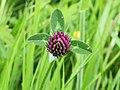 Rode klaver (Trifolium pratense).JPG