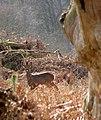 Roe buck (Capreolus capreolus) with antlers in velvet - geograph.org.uk - 1203510.jpg