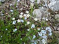 Romanian Flora - Wild blue small flower 07.JPG