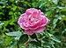 Rosa × centifolia 21072014 (3).jpg