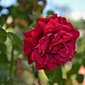 "Rosa ""Grand Award"" o POULcy 016.jpg"