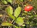 Rosa canina fruit (45).jpg