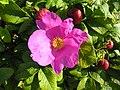 Rosa rugosa inflorescence (26).jpg