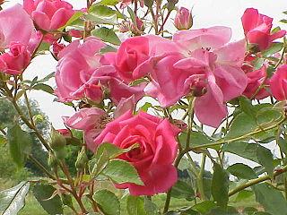Rosa sp.195.jpg