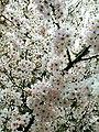 Rosales - Prunus padus - 12.jpg
