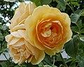 Rosarium Baden Rosa 'Graham Thomas' Austin 1983 05.jpg