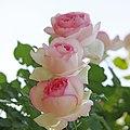 Rose, Pierre de Ronsard, バラ, ピエール ド ロンサール, (15832593121).jpg