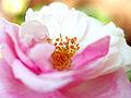Rose, Verschuren, バラ, フェルスフレーン, (18131795166).jpg